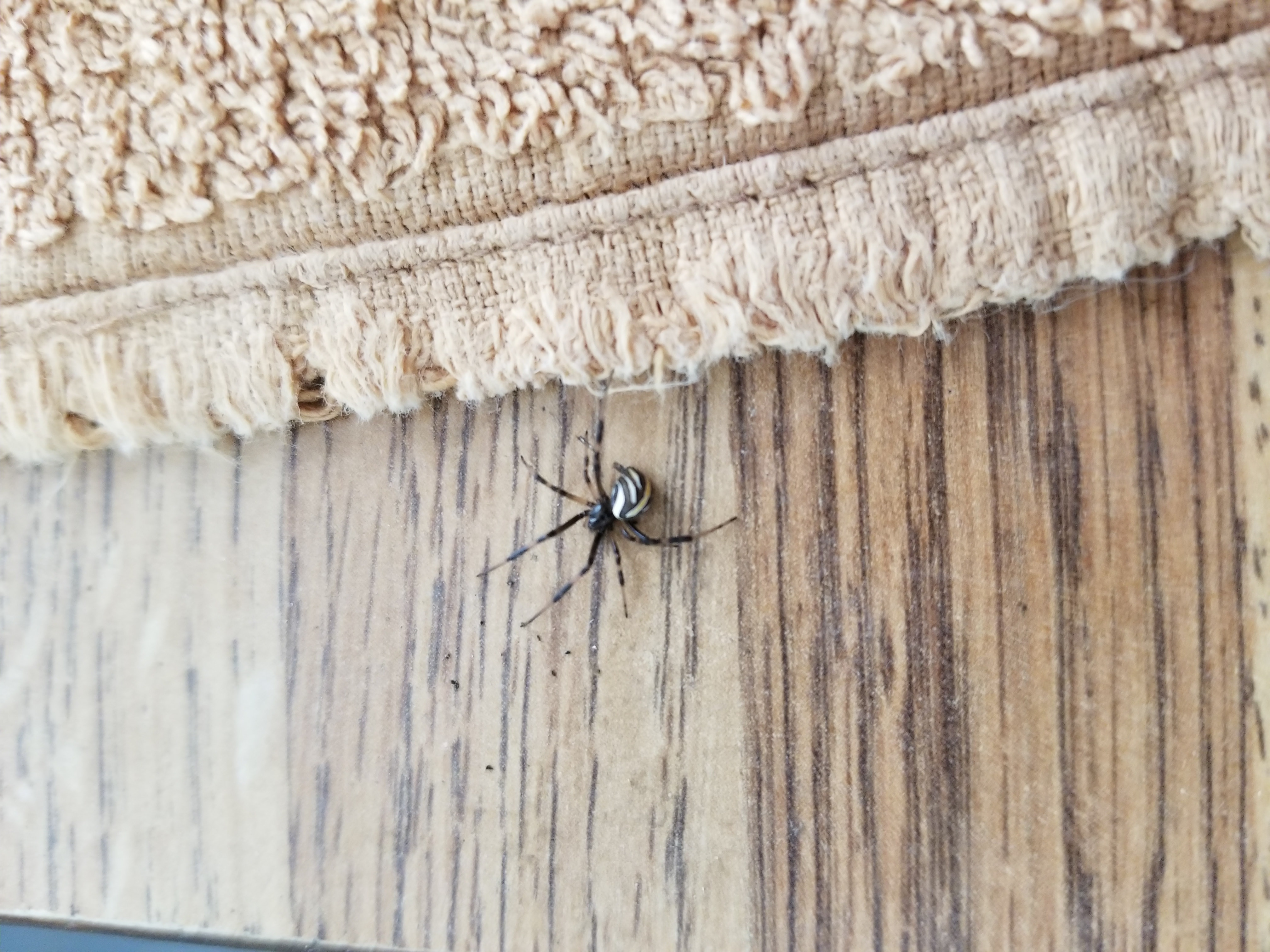 Picture of Latrodectus hesperus (Western Black Widow) - Lateral