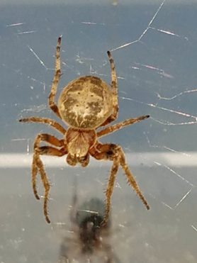 Picture of Larinioides patagiatus - Dorsal,Webs