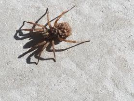Picture of Hogna lenta - Female - Dorsal,Spiderlings