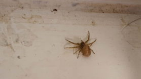 Picture of Xysticus spp. (Ground Crab Spiders)