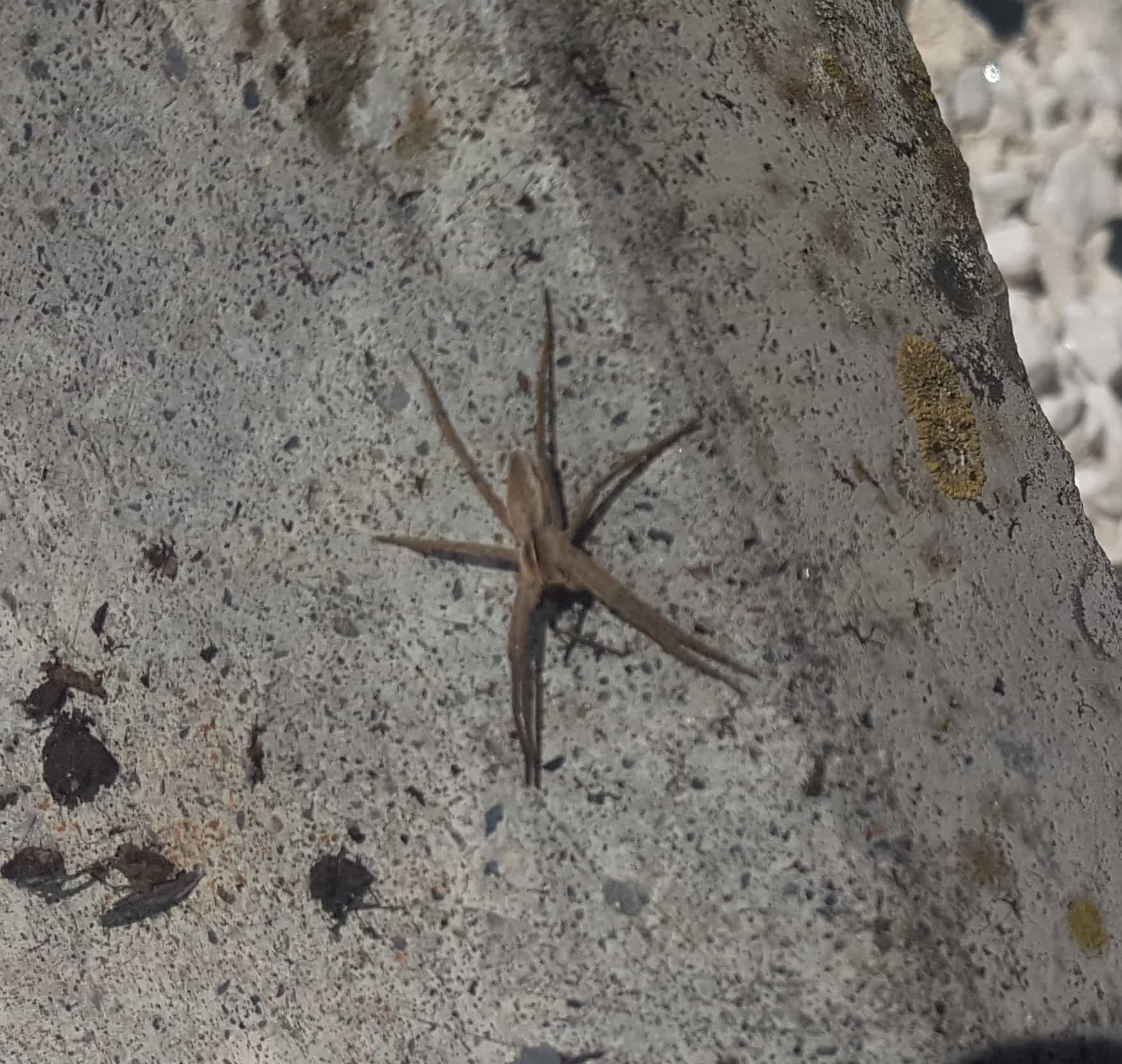 Picture of Pisaura mirabilis (European Nursery Web Spider) - Dorsal