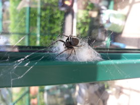 Picture of Nuctenea umbratica (Walnut Orb-weaver) - Female - Dorsal,Egg sacs,Webs