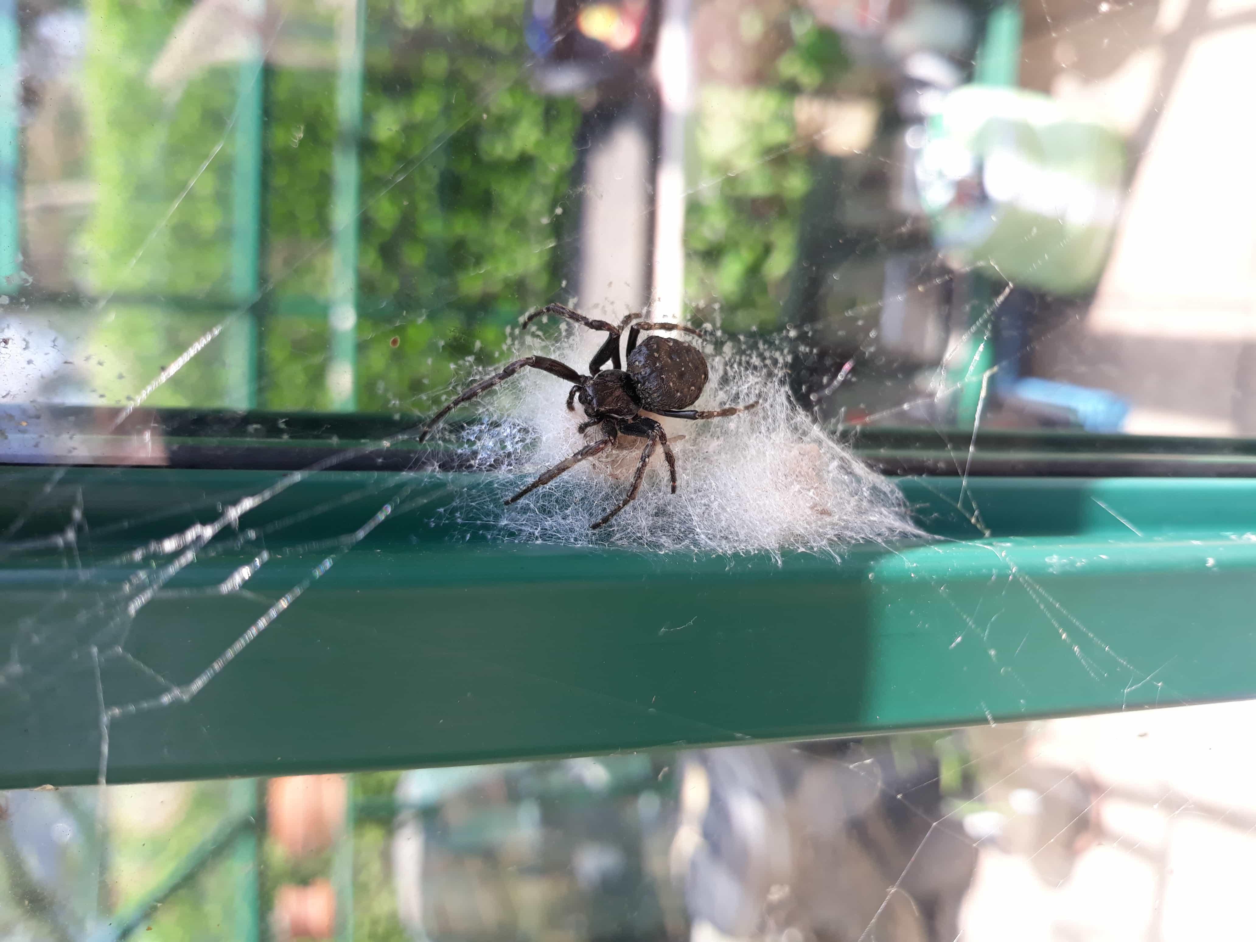 Picture of Nuctenea umbratica (Walnut Orb-weaver) - Female - Dorsal,Egg sacs,Webs