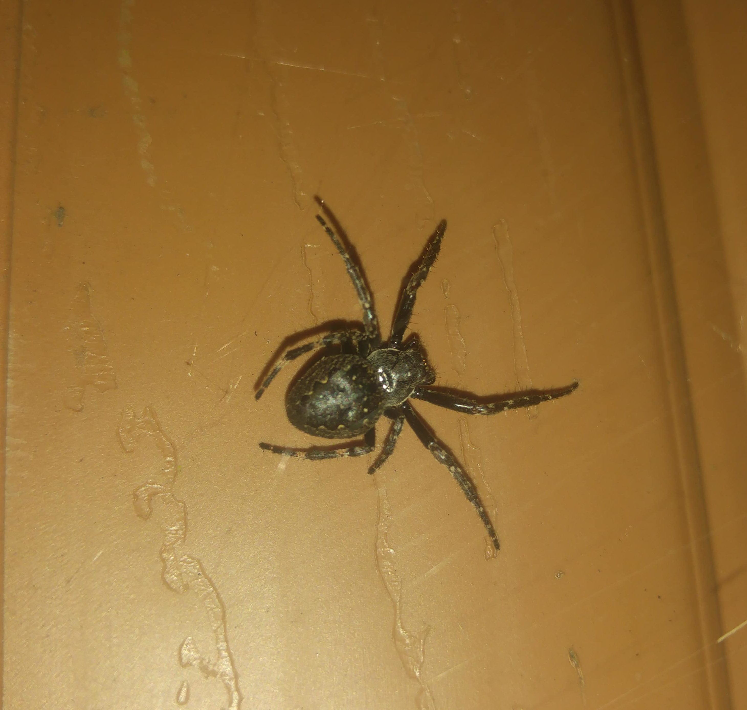 Picture of Nuctenea umbratica (Walnut Orb-weaver) - Dorsal