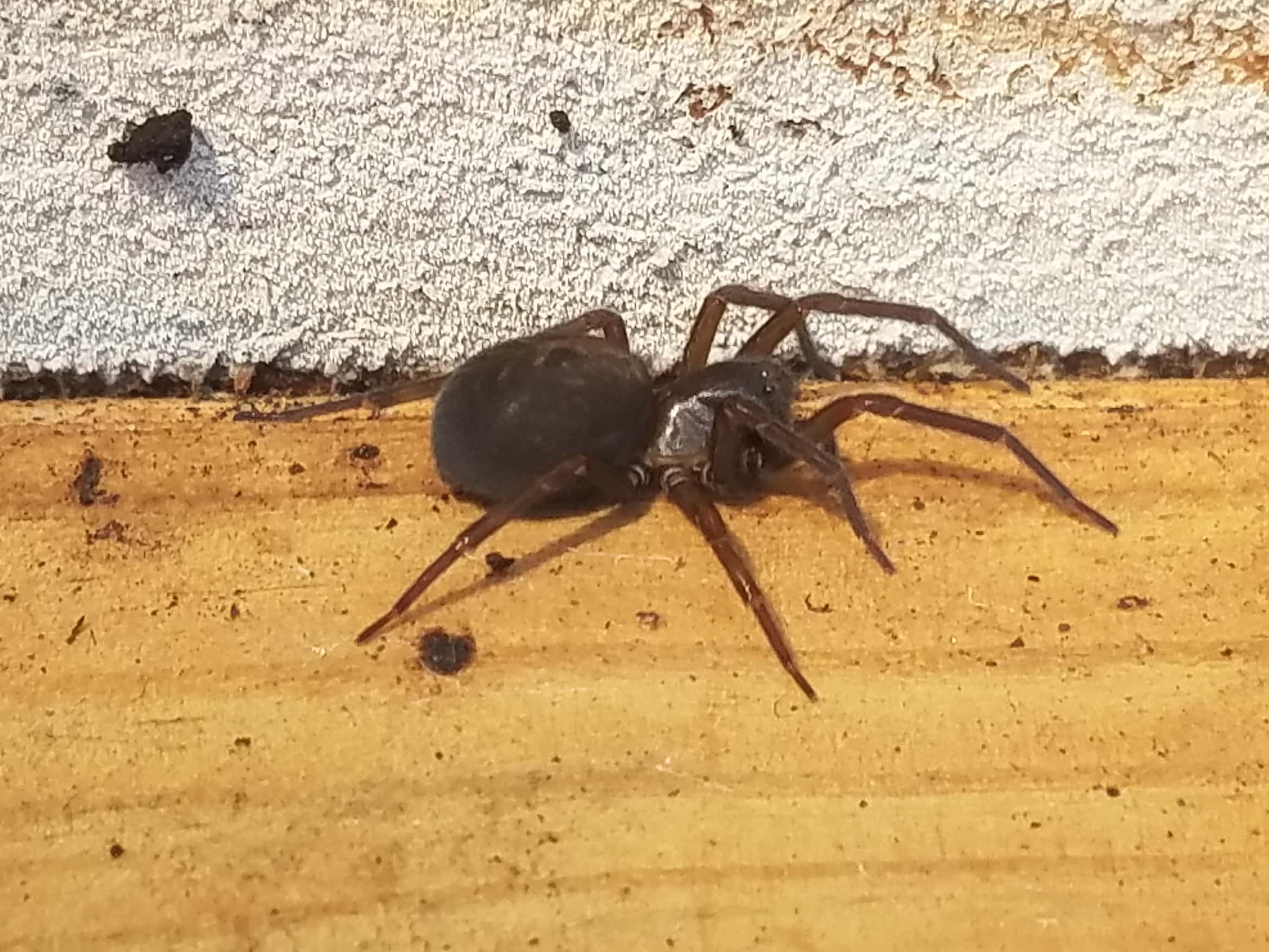 Picture of Amaurobius ferox (Black Lace-Weaver) - Female - Lateral