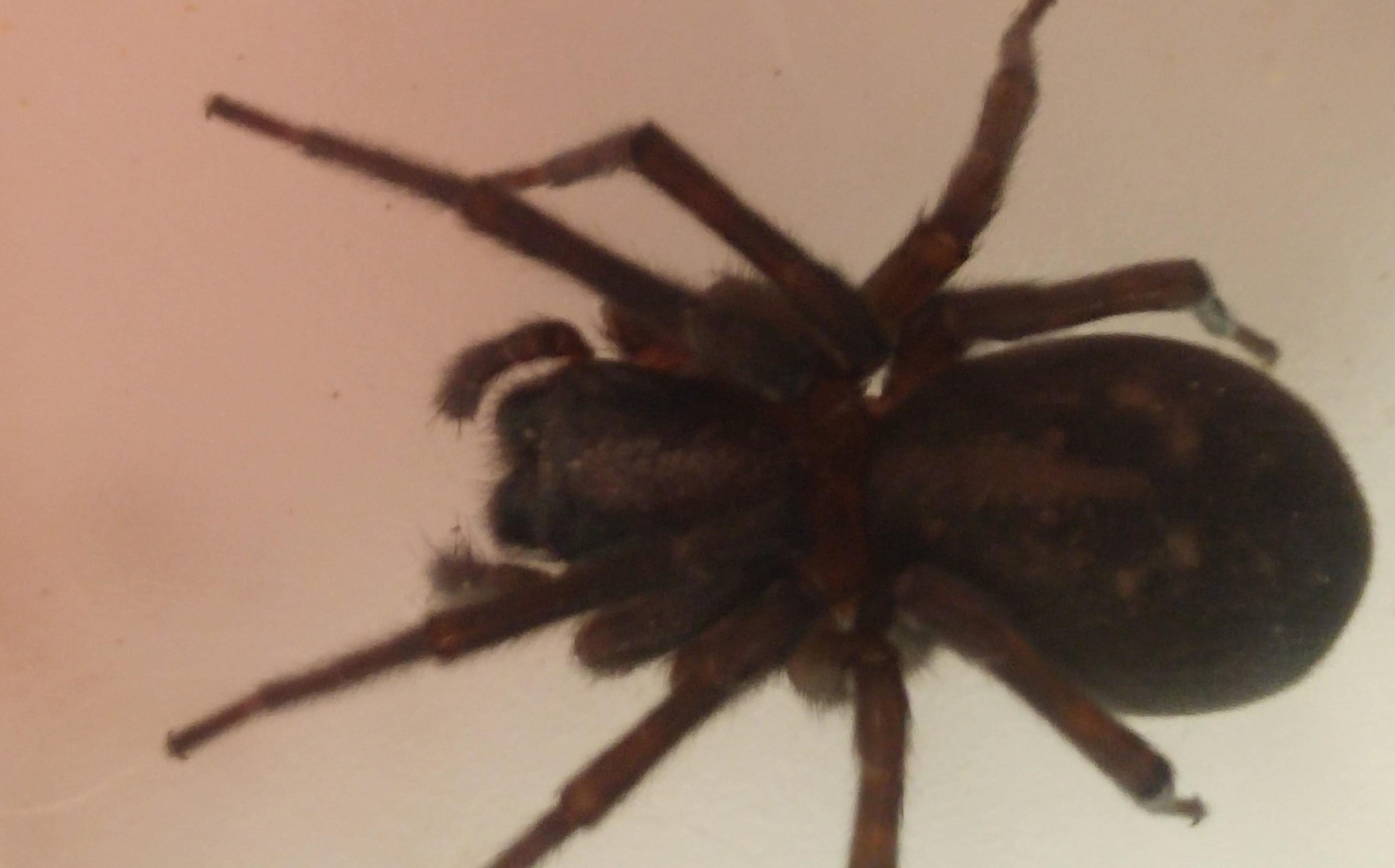 Picture of Amaurobius ferox (Black Lace-Weaver) - Dorsal