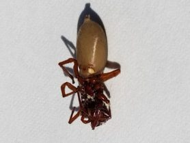 Picture of Dysdera crocata (Woodlouse Hunter) - Female - Ventral