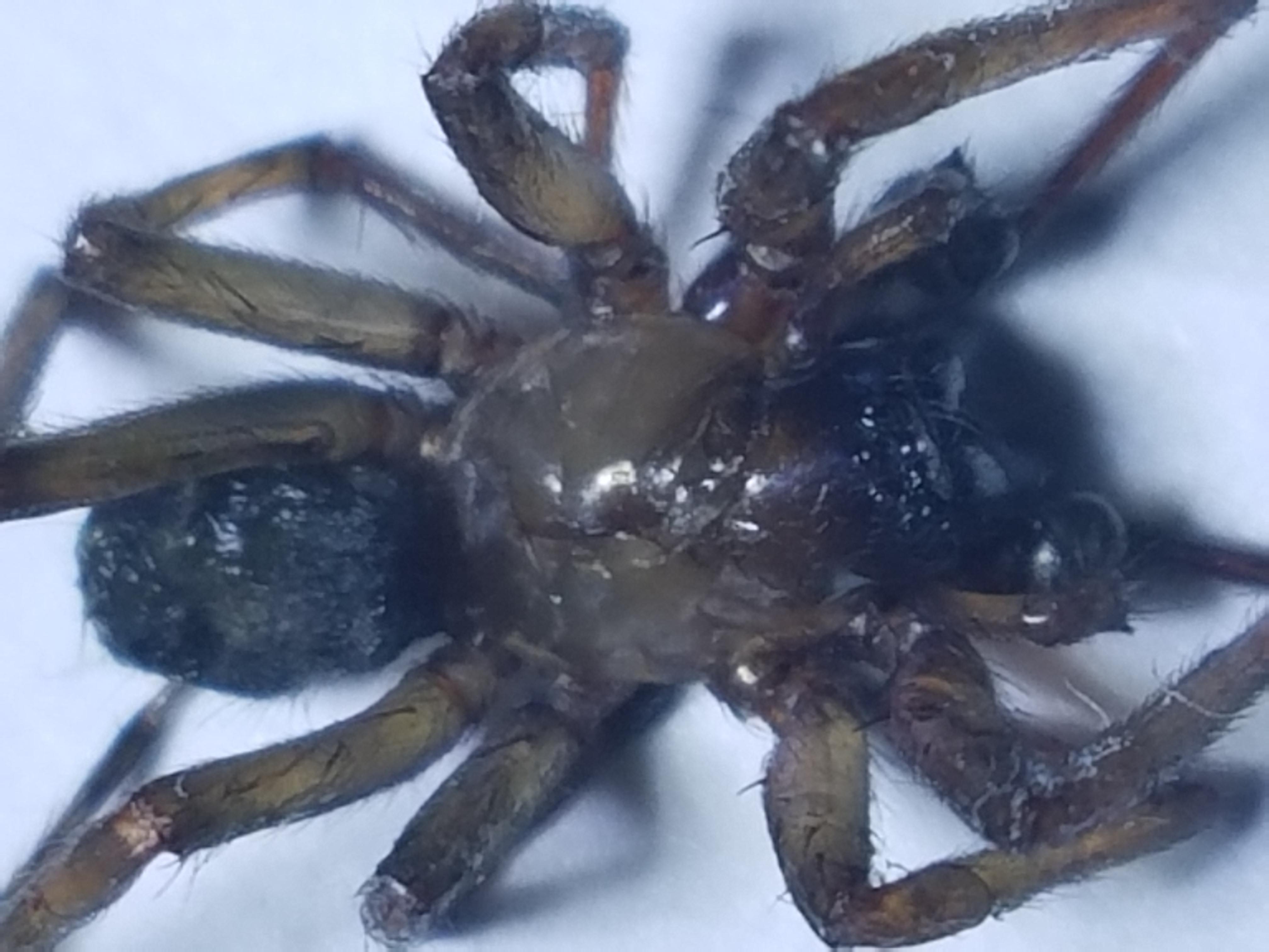 Picture of Metaltella simoni (Hacklemesh Weaver) - Male - Dorsal