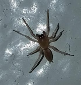 Picture of Clubiona spp. (Leaf-curling Sac Spiders) - Dorsal