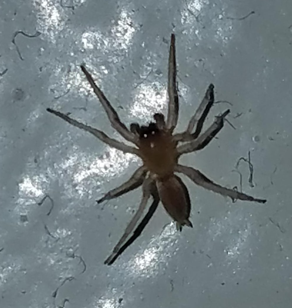 Picture of Clubiona (Leaf-curling Sac Spiders) - Dorsal
