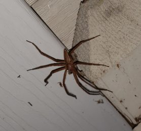 Picture of Pisaurina mira (Nursery Web Spider) - Male - Lateral