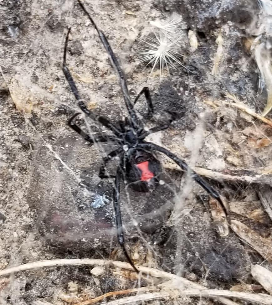 Picture of Latrodectus mactans (Southern Black Widow) - Female - Ventral
