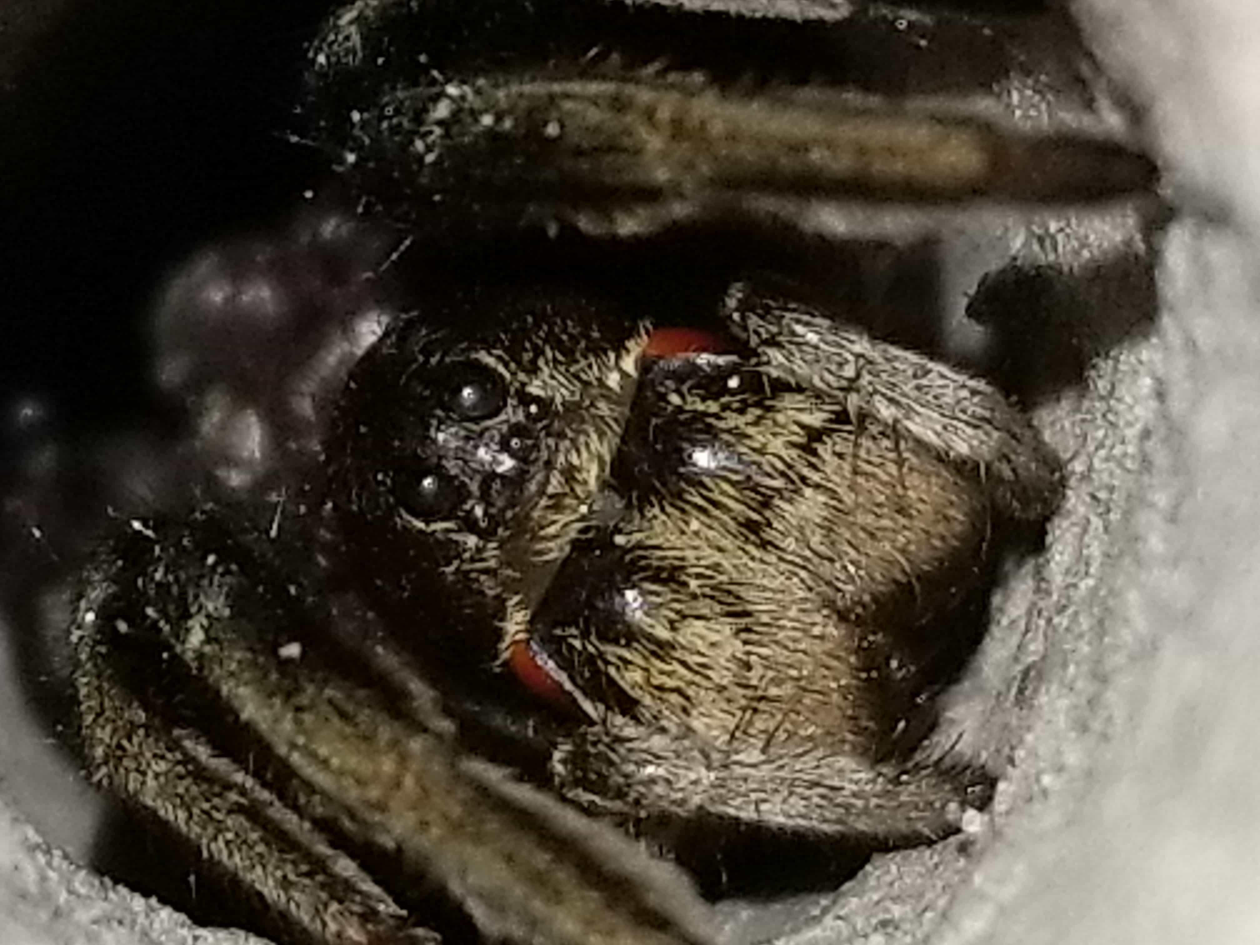 Picture of Geolycosa missouriensis - Eyes,In Retreat