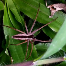 Featured spider picture of Perenethis venusta