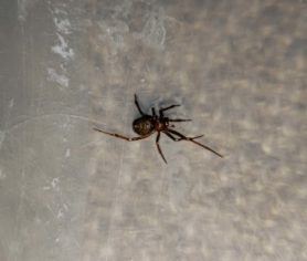 Picture of Nesticodes rufipes (Red House Spider) - Dorsal,Webs