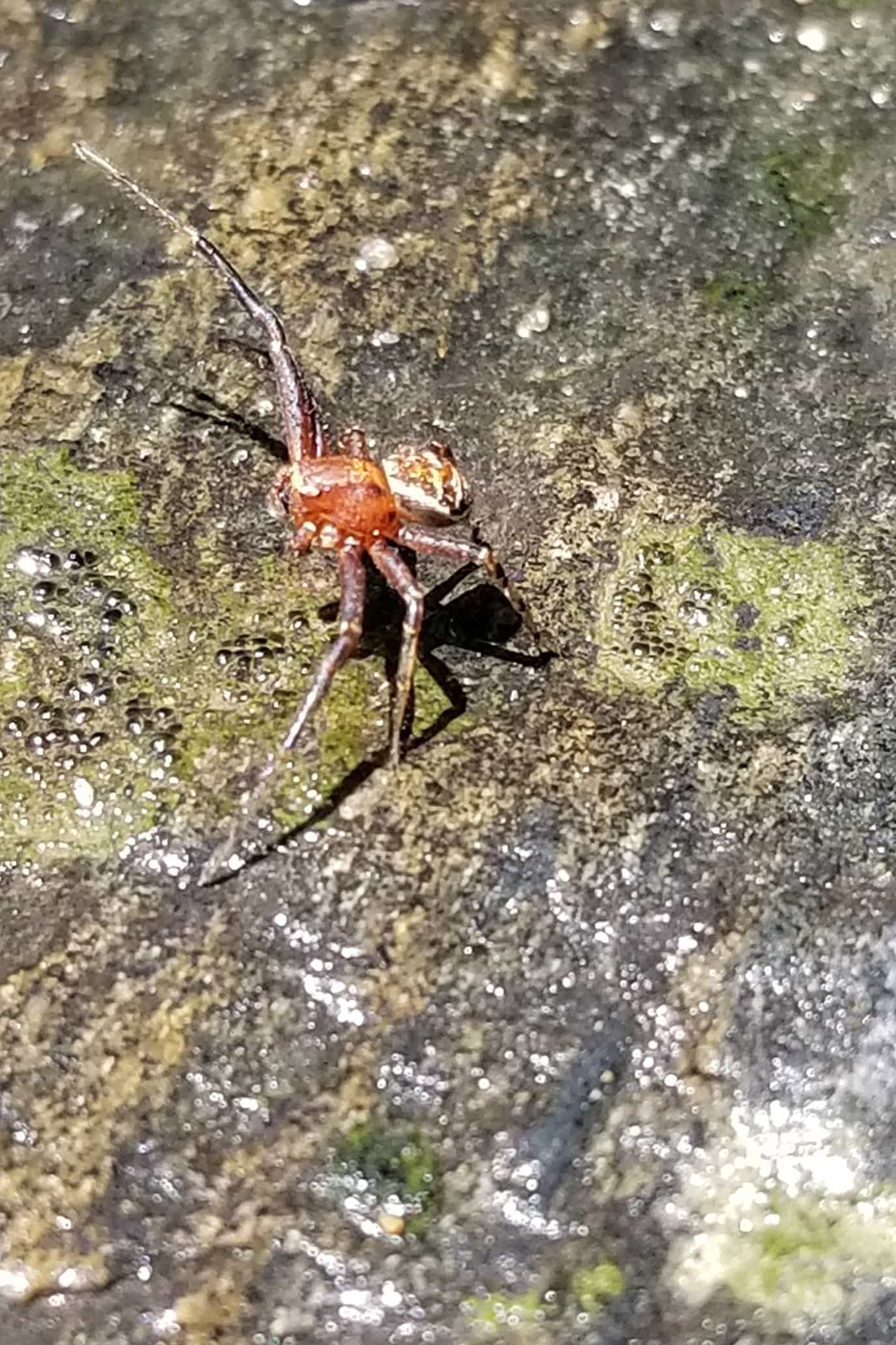 Picture of Xysticus (Ground Crab Spiders) - Lateral