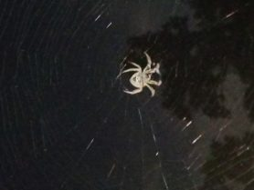 Picture of Eriophora ravilla (Tropical Orb-weaver) - Ventral,Webs