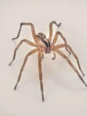 Picture of Rabidosa rabida (Rabid Wolf Spider)