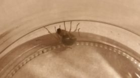 Picture of Cheiracanthiidae (Prowling Spiders) - Lateral