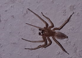 Picture of Clubiona spp. (Leaf-curling Sac Spiders) - Male - Dorsal