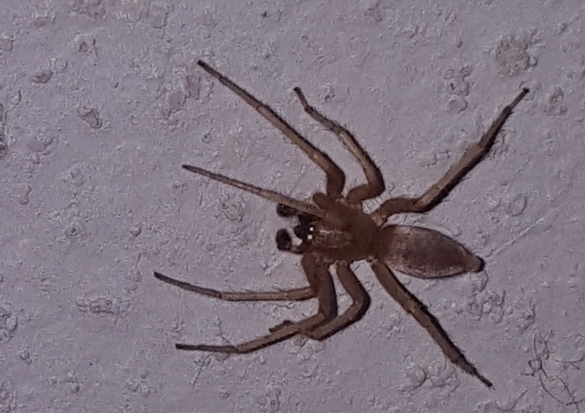 Picture of Clubiona (Leaf-curling Sac Spiders) - Male - Dorsal
