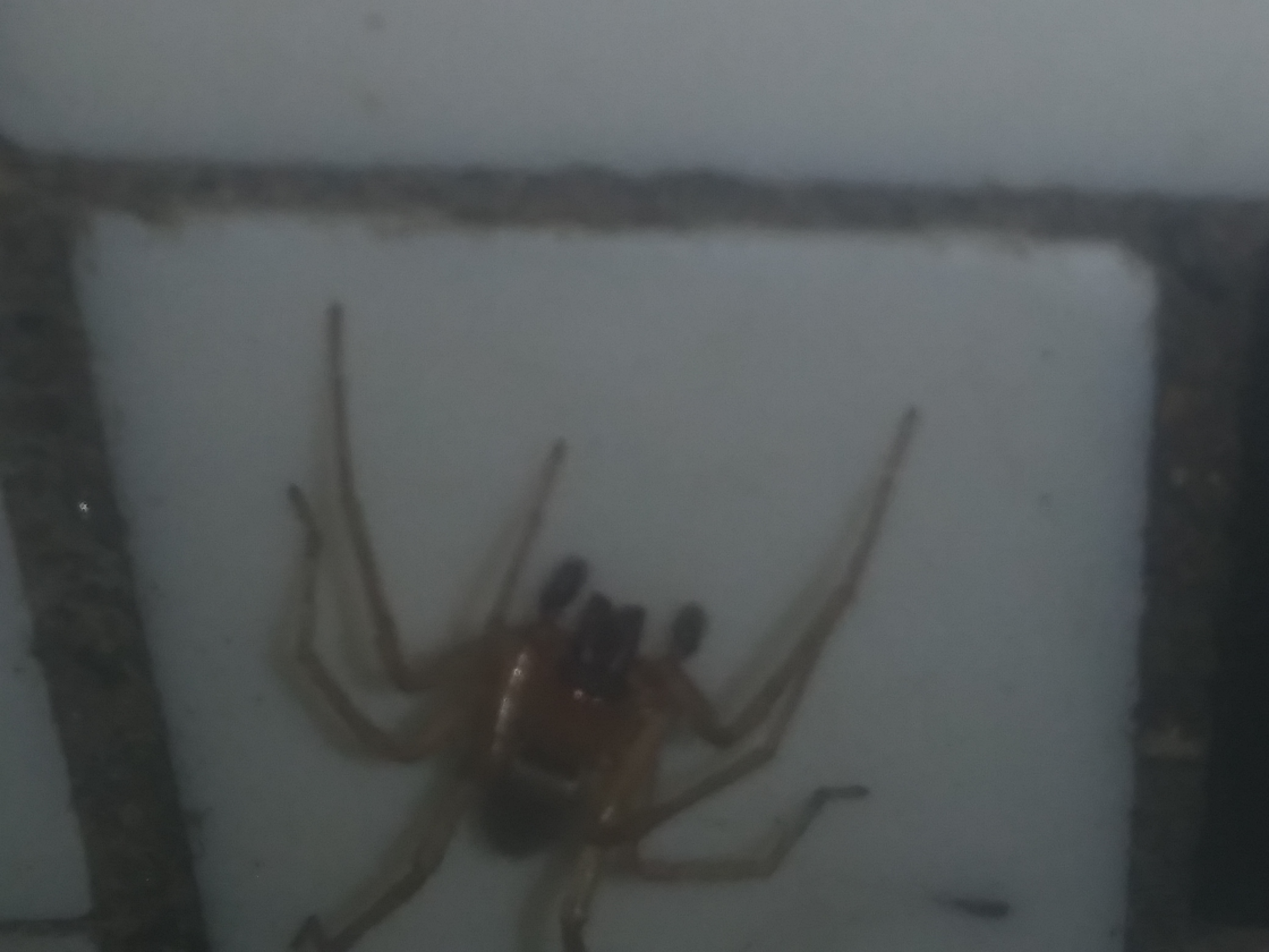 Picture of Clubionidae (Sac Spiders) - Male - Dorsal