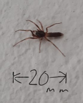 Picture of Harpactea hombergi (Stripe-legged Spider) - Dorsal