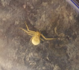 Picture of Misumena vatia (Golden-rod Crab Spider) - Dorsal