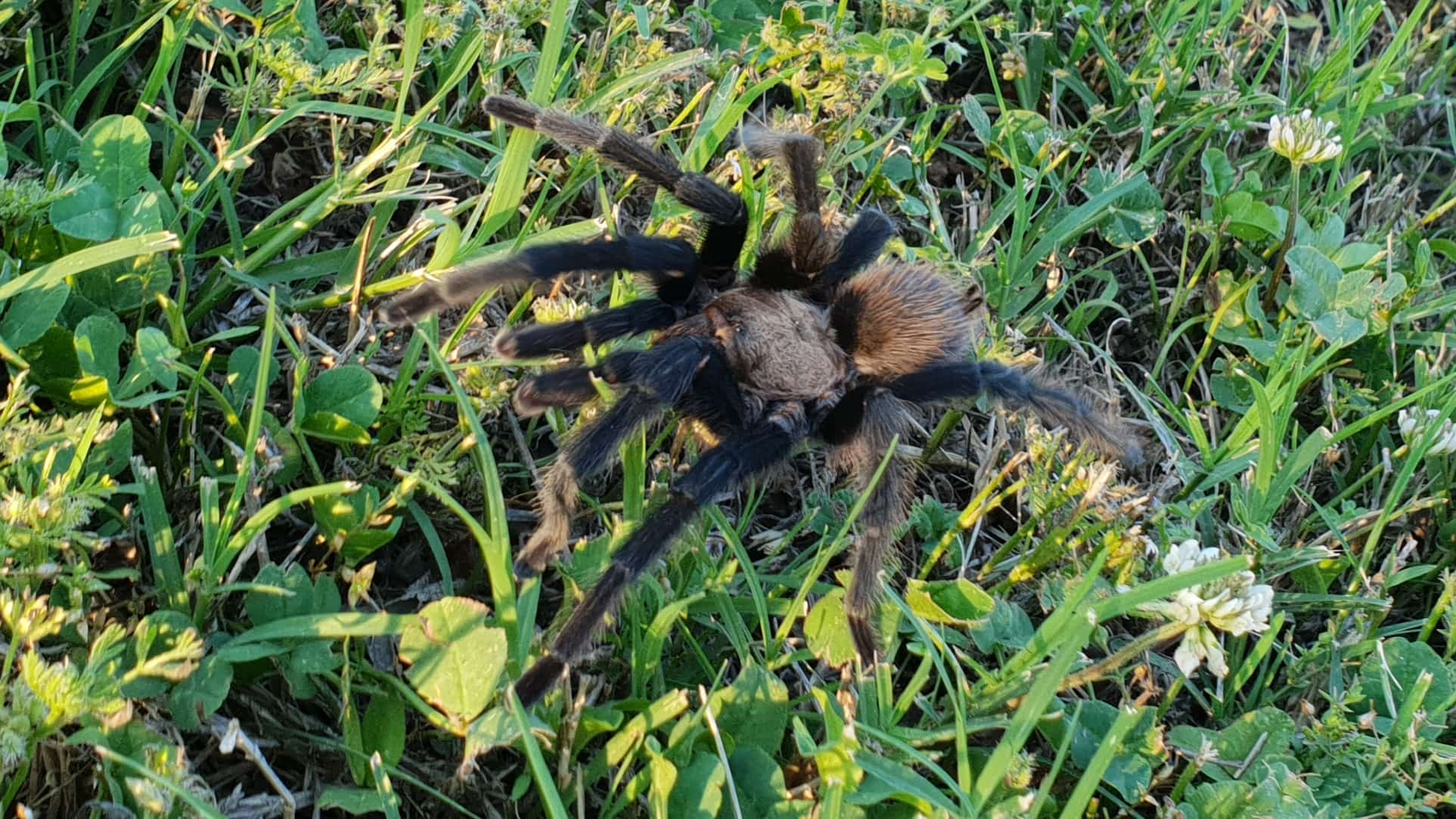 Picture of Aphonopelma - Dorsal