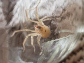 Picture of Eutichuridae (Prowling Spiders) - Female - Ventral