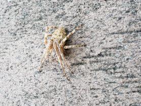 Picture of Larinioides patagiatus - Dorsal