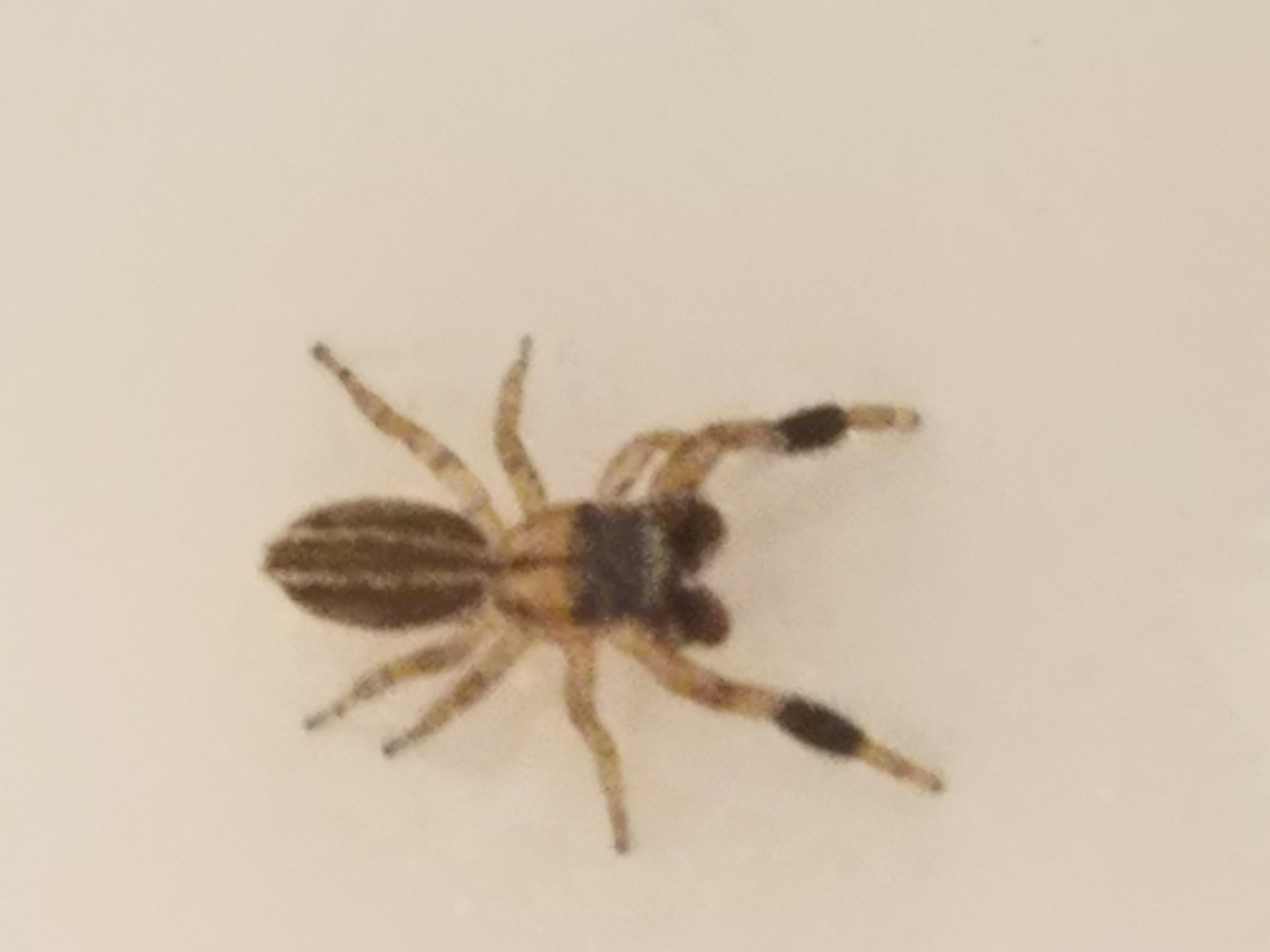Picture of Marpissa lineata - Male - Dorsal