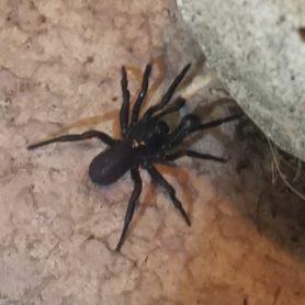 Picture of Ummidia spp. - Male - Dorsal
