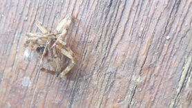 Picture of Larinioides spp. (Furrow Spiders)