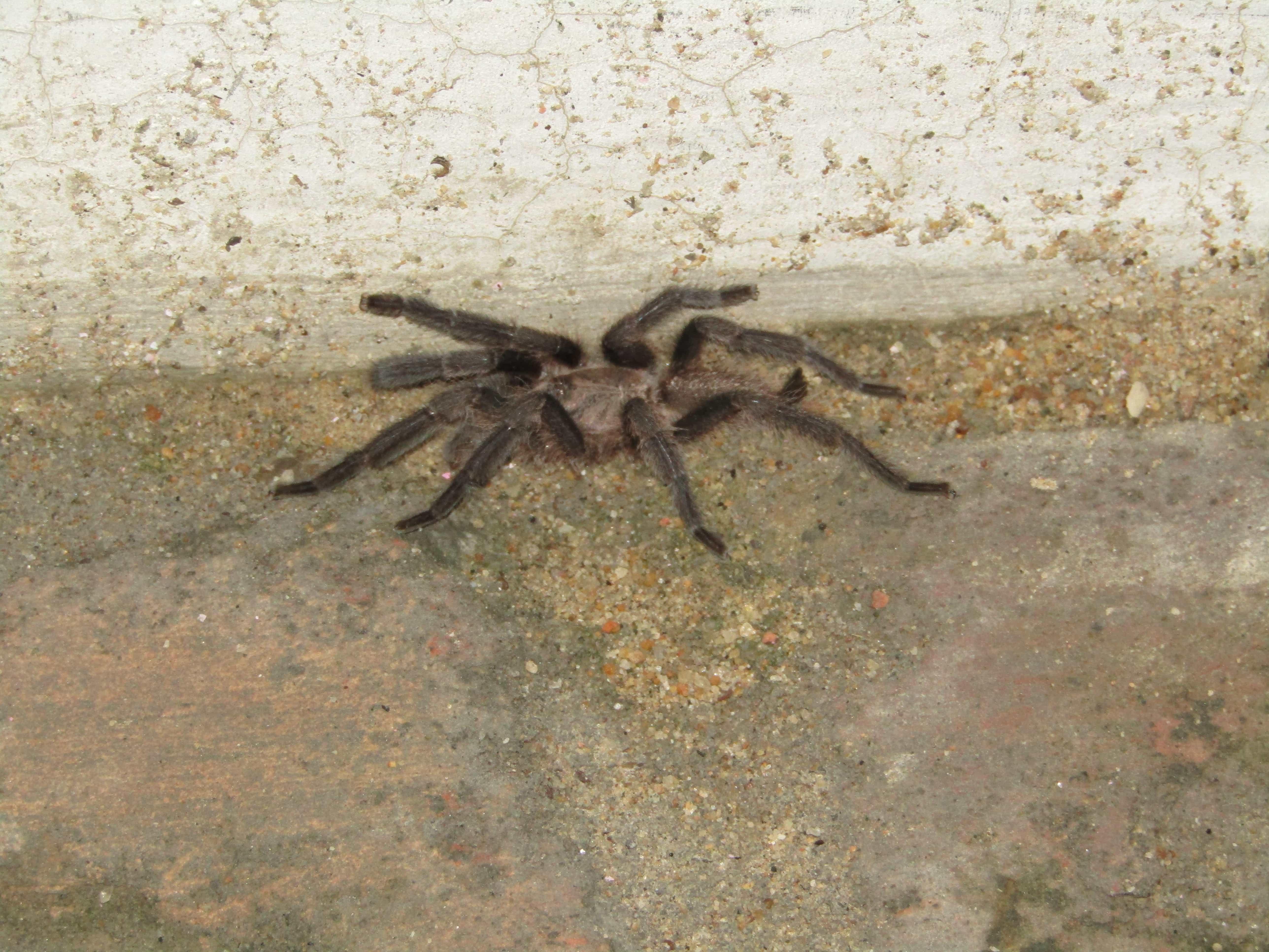 Picture of Theraphosidae (Tarantulas) - Lateral