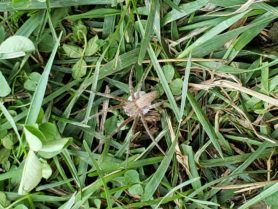 Picture of Pisaurina mira (Nursery Web Spider) - Female - Dorsal,Egg sacs