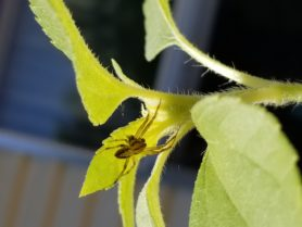 Picture of Neoscona arabesca (Arabesque Orb-weaver) - Male - Dorsal