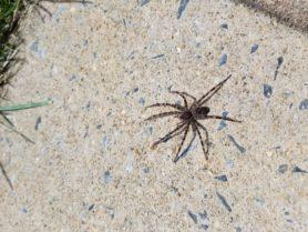 Female Dolomedes tenebrosus (Dark Fishing Spider) in ...