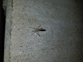 Picture of Tibellus spp. (Slender Crab Spiders) - Dorsal,Prey