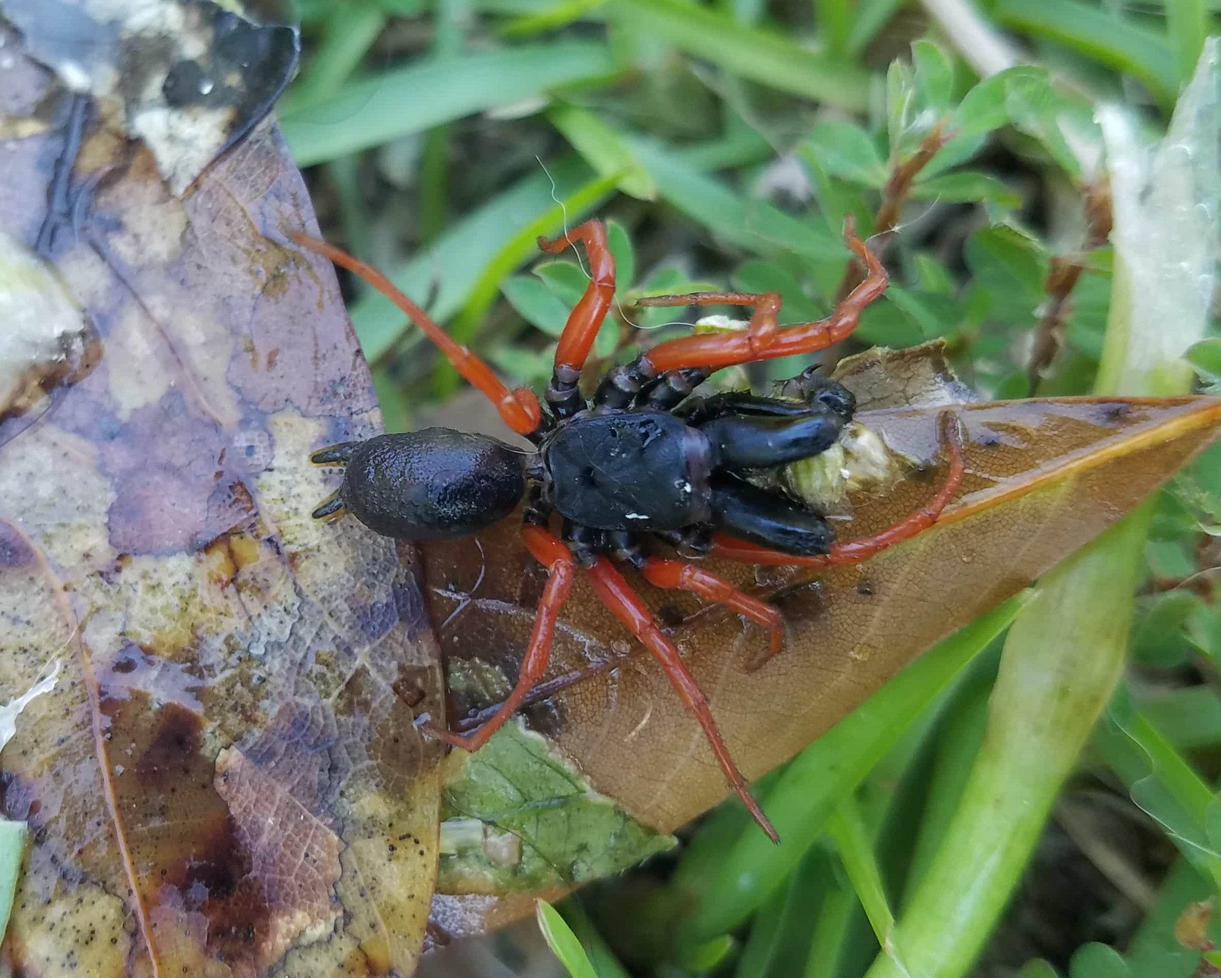 Picture of Sphodros rufipes (Red-legged Purse-web Spider) - Male - Dorsal
