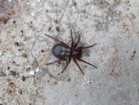 Picture of Callobius severus - Dorsal