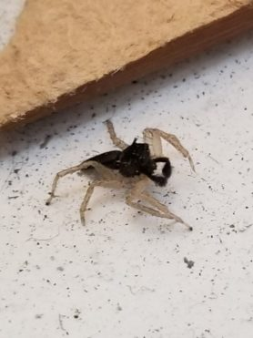 Picture of Maevia inclemens (Dimorphic Jumper) - Male - Lateral