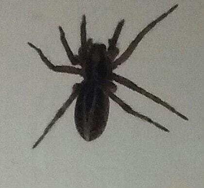 Picture of Schizocosa mccooki - Dorsal