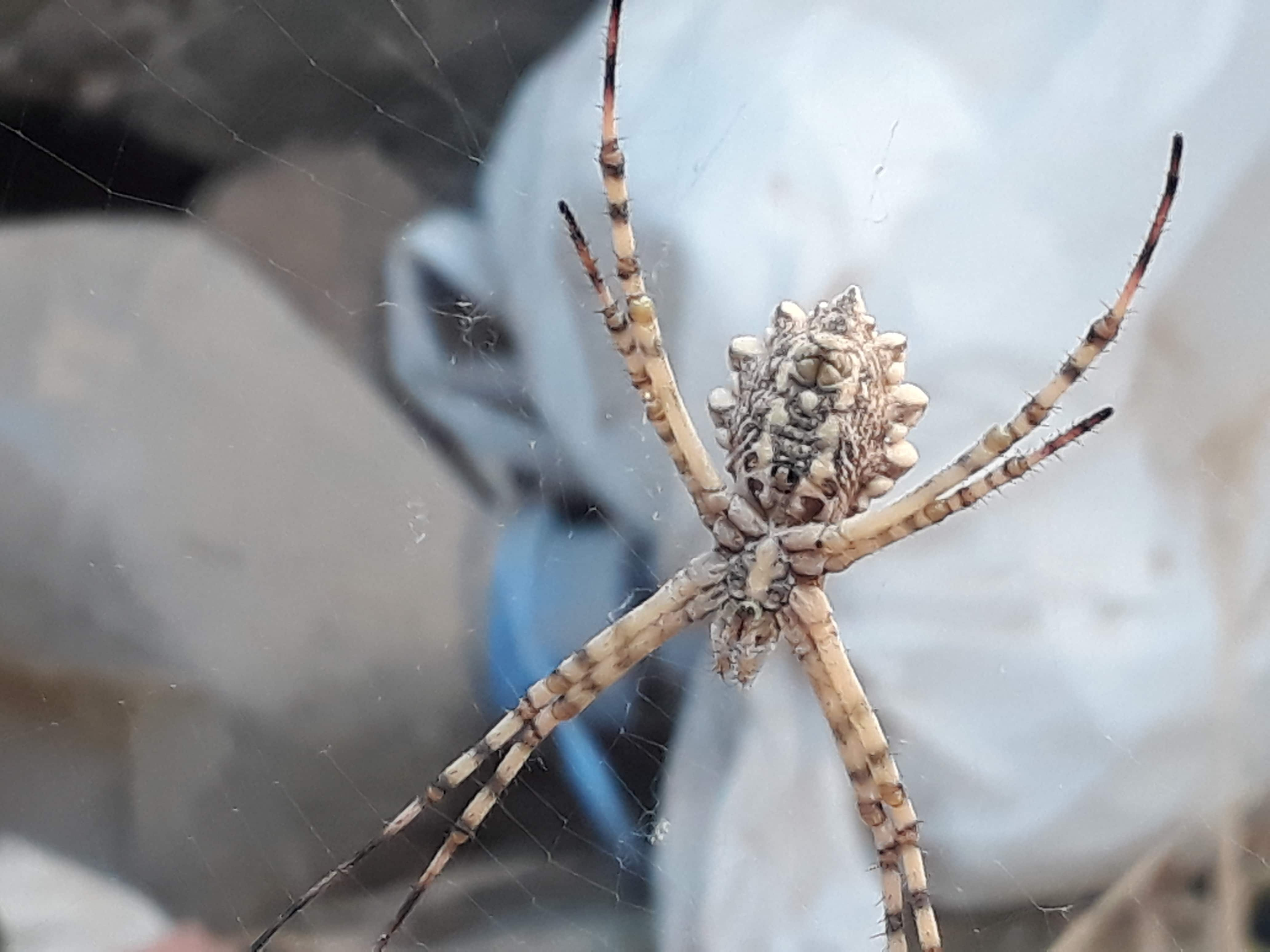 Picture of Argiope lobata (Lobed Argiope) - Ventral,Webs