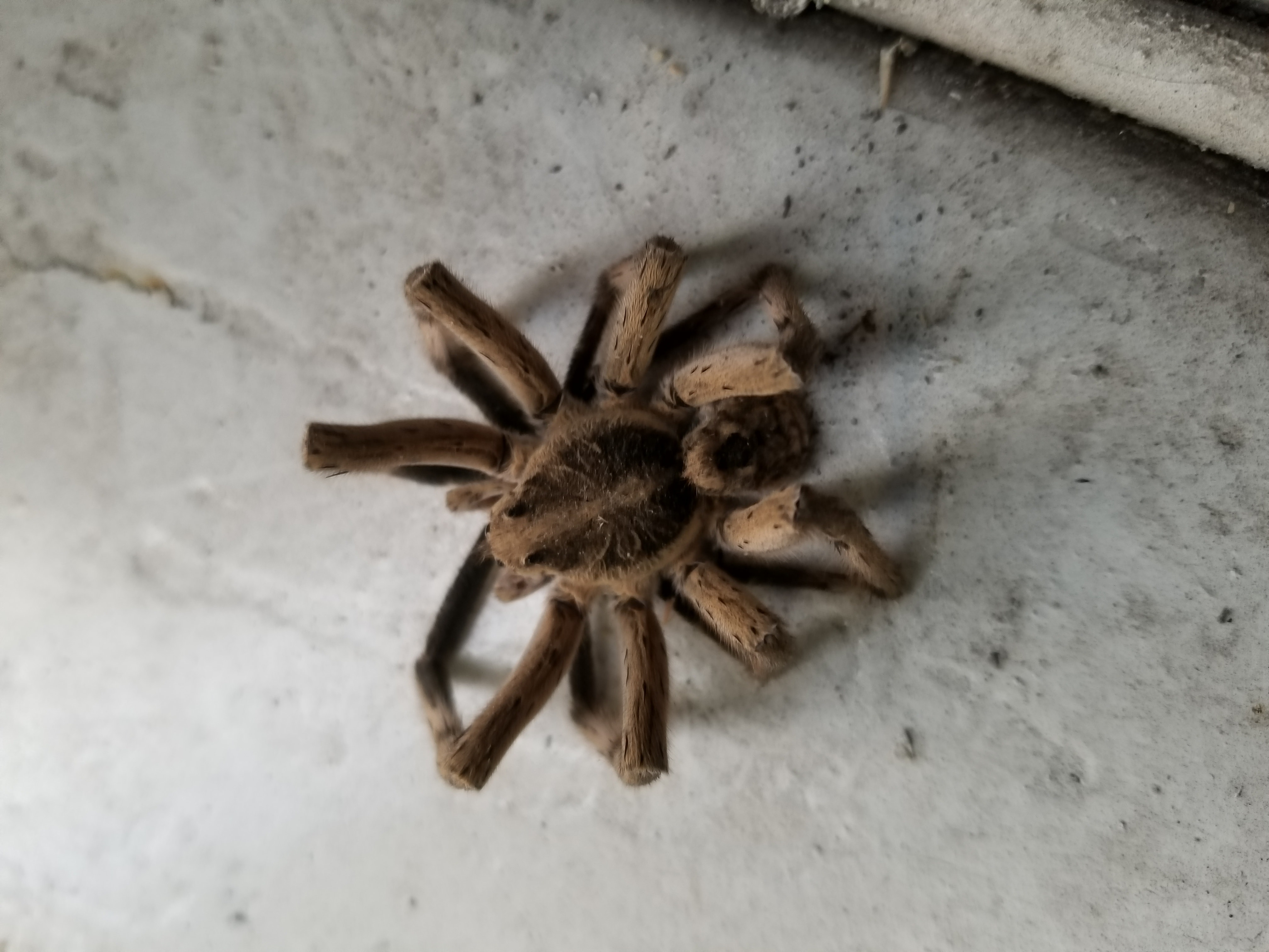 Picture of Hogna carolinensis (Carolina Wolf Spider) - Dorsal