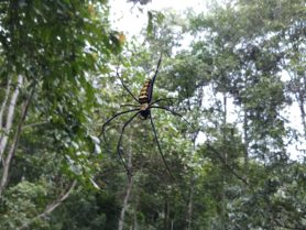 Picture of Nephila spp. (Golden Silk Orb-weavers) - Dorsal,Webs