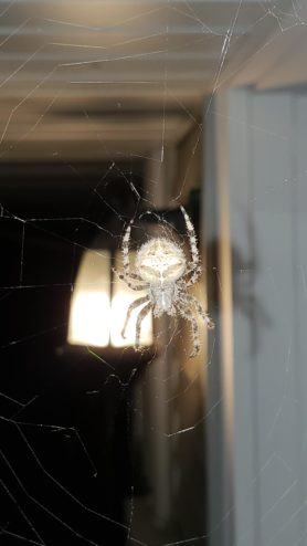 Picture of Araneus gemmoides (Cat-faced Spider) - Dorsal,Webs