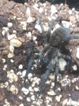 Picture of Tigrosa aspersa (Tiger Wolf Spider)