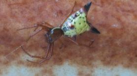 Picture of Micrathena sagittata (Arrow-shaped Micrathena) - Dorsal