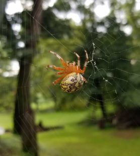 Picture of Araneus marmoreus (Marbled Orb-weaver) - Dorsal,Webs